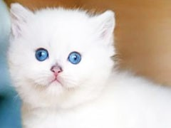 自家貓舍繁育一窩短毛包純種 包健康