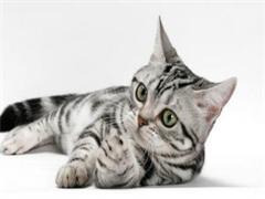 深圳有卖虎斑小猫咪纯种美短短毛猫标准虎斑小猫