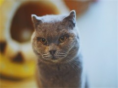 蕪湖萌寵雙色布偶貓 身體健康活潑可愛 品質有保障