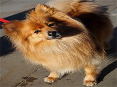 重庆本犬舍出售品相好的狗狗,支持全国发货,也可以视频挑选