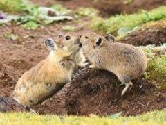 涼山美姑廠家直銷比利時種兔肉兔養殖市場前景分析比利時兔散養技
