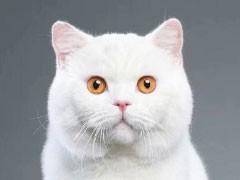 安徽宣城美短加白幼猫优惠出售