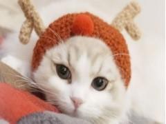 随州双血统 布偶猫