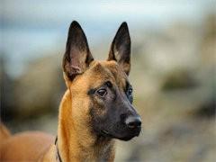 自己家養的雙血統馬犬犬 顏值高 忍痛出售