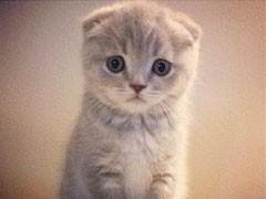 貓舍直銷多只折耳貓寶寶,身體健康 品相好價格合理