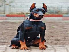 純種杜賓犬價格 杭州里賣杜賓犬 錢