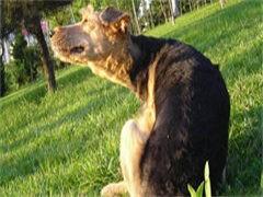 榆林知名养殖基地常年出售 雪瑞纳幼犬 签协议可上门挑选