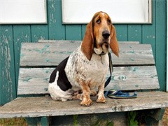 本溪宠物狗 优良血统 纯种拉布拉多犬 健康 活泼 已疫苗驱虫