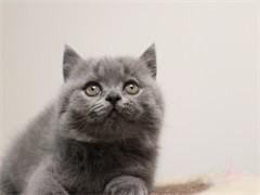 伊春出售自家繁殖纯种金吉拉幼猫 赛级品质 漂亮可爱