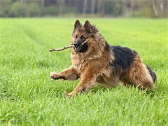 基地直銷高品質德牧等品種幼犬 簽協議 送用品