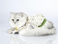 貓苑長期波斯貓 長毛波斯貓 白波斯貓 包純種健康