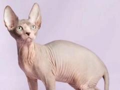 陵水超可愛特價藍白 矮腳貓 暹羅貓 短毛