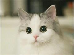 池州纯正英短优质品种,大包子脸蓝猫出售,疫苗已经做完