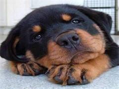 宣城本地博美犬健康和纯种 可协议 可体检商家质保