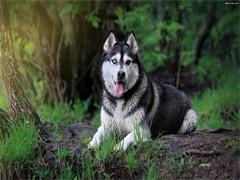 出售活體寵物狗幼犬純種健康雪橇犬巨型阿拉斯加大型犬