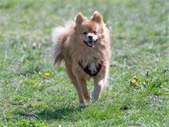犬舍直銷純種哈多利球形白博美 黃博美 俊介版博美
