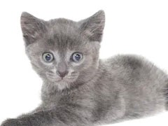 蕪湖出售折耳貓 金吉拉 多只可選 保證健康