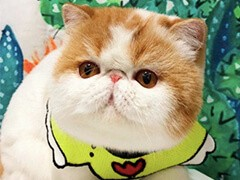 自家猫舍繁育一窝加菲包纯种 包健康