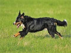 中國較大伯恩山犬繁殖基地 一下唯緣犬舍