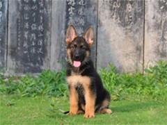 冠軍后代雙血統德國牧羊犬黑背一窩 證書可查可以看狗父母