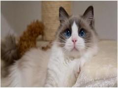 貓苑繁殖布偶貓 簽協議包健康純種