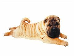 随州拉布拉多犬 纯种拉布拉多犬 签订活体协议