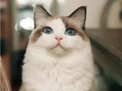 南平纯正英短优质品种,大包子脸蓝猫出售,疫苗已经做完