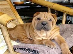 纯种的沙皮犬适合小孩养 性格样