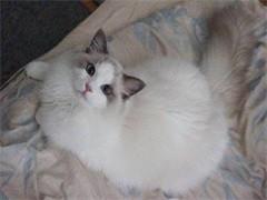 十堰纯正英短优质品种,大包子脸蓝猫出售,疫苗已经做完