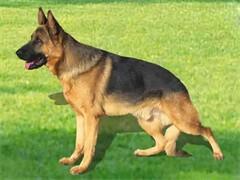 陵水寵物狗 品相出眾 純種哈士奇出售 簽純種健康協議