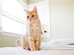 出售美短加白幼猫母美短猫宠物猫活体包健康活