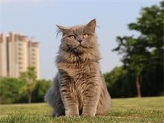 cfa赛级加菲猫、弟弟和妹妹、是您家庭幸福伴侣