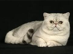 可送貨上門純種健康 波斯貓寶寶 完美品質 簽正規