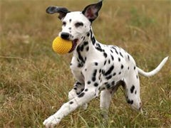 陵水誠信交易 純種薩摩耶犬 保成活簽協議 價格可商量