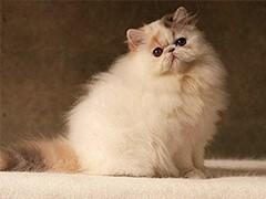 自家猫舍繁育一窝波斯 包纯种 包健康