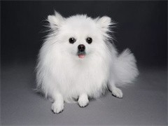 纯种球体血系博美犬出售 可上门挑选可看父母