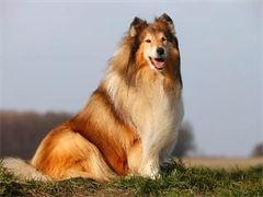 苏格兰牧羊犬自家繁殖品质很好 喜欢的来吧
