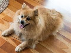 赤峰本犬舍出售品相好的狗狗,支持全国发货,也可以视频挑选