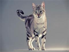 杭州萌寵雙色布偶貓 身體健康活潑可愛 品質有保障