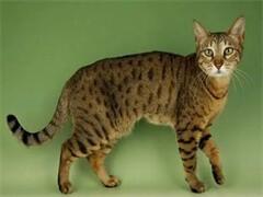 自家猫舍繁殖纯种带证疫苗三包送货上门