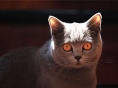 較大CFA認證貓舍自家繁殖純種短毛貓 可上門 看父母