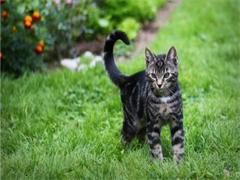 深圳出售各种可爱的小猫咪 蓝猫 美短