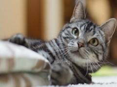 南京出售藍白 藍貓 銀漸層 美短 可免費送貓上門