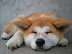 纯种可爱秋田犬,血统正宗品相好疫苗齐全包纯种