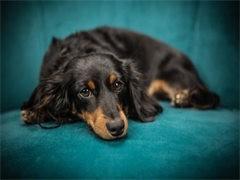 纯种的腊肠犬适合小孩养 性格样