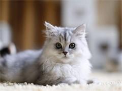 猫舍繁殖出售金吉拉可送货签协议公母都有多窝