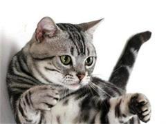 蚌埠双血统 布偶猫