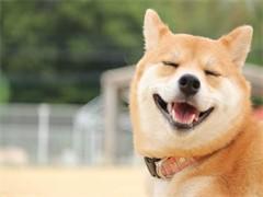 河源雪瑞納幼犬出售 包純種包健康