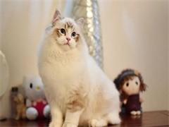 双色布偶仙女猫八字开包纯种健康