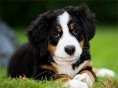 全国连锁双血统伯恩山犬繁殖基地 本地可上门
